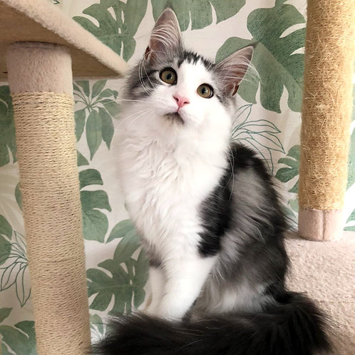 619 Latona  Maine Coon female kitten