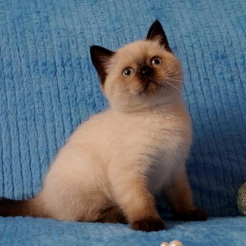 736 Grammy   Scottish straight shorthair male kitten