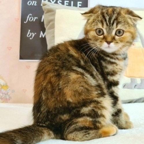 702 Jozephina   Scottish fold shorthair female kitten