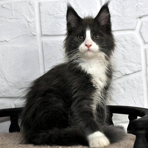 314 Flash  Maine Coon male kitten