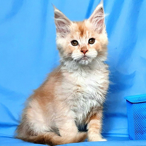 685 Z-Marshmallow   Maine Coon female kitten