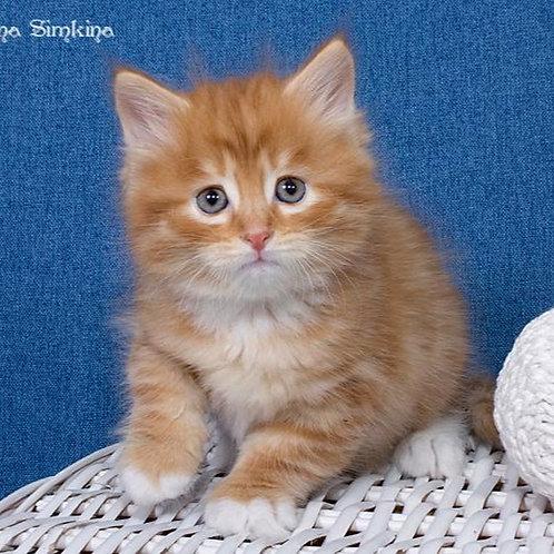 172 Naum     Siberian male kitten