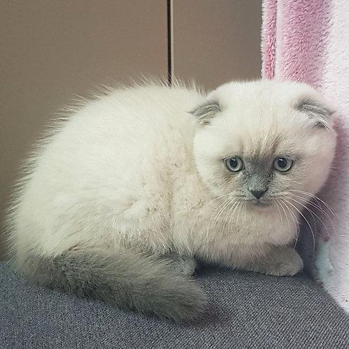 633 Lolita Scottish fold shorthair female kitten