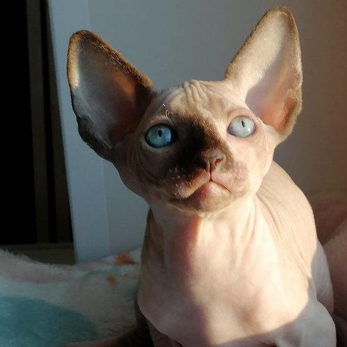 297 Karina  female Sphinx kitten