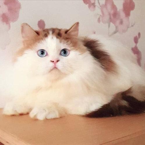 287 Nicholas     Scottish straight longhair male kitten