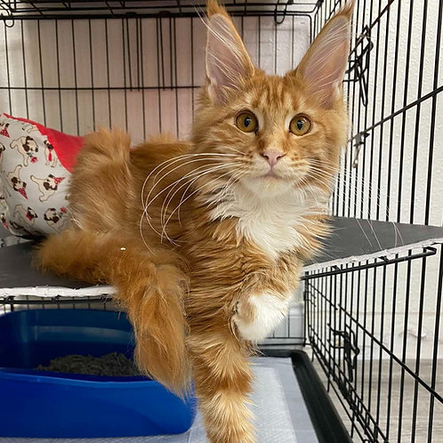 465 Asti Maine Coon female kitten