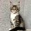 Thumbnail: 878 Onix  Maine Coon male kitten