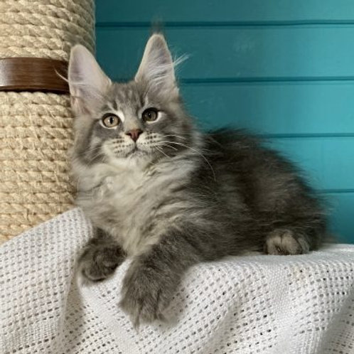 492 Port Maine Coon male kitten