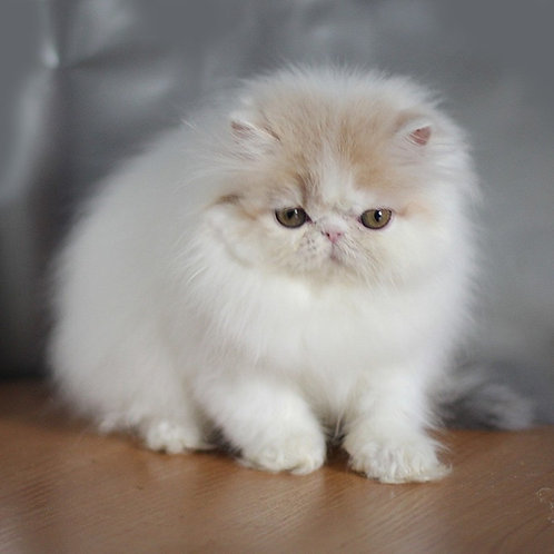Fluffy Persian female kitten