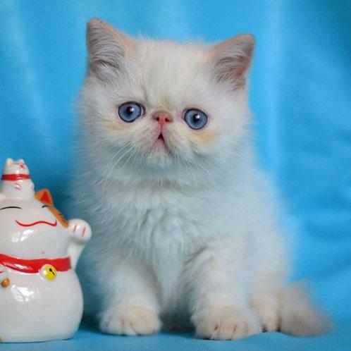 250 Villy  Exotic  male kitten