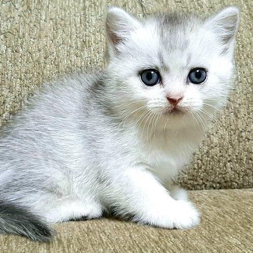 1006 Grandis  Scottish straight shorthair male kitten