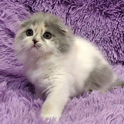 152 Darsy    Scottish fold longhair female kitten
