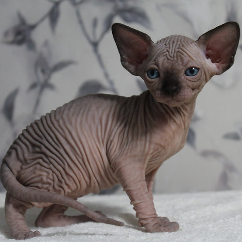 390 Deborah female Sphinx kitten