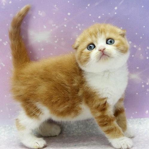 656 Brusnika   Scottish fold shorthair female kitten