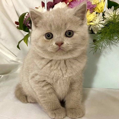 534 William  British shorthair male kitten