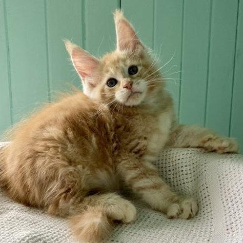 488 Franks Maine Coon male kitten