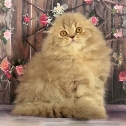 523 Zahra   Scottish fold longhair female kitten
