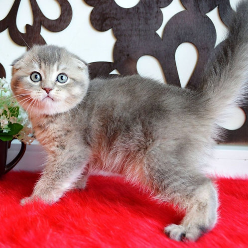 715 Nikita   Scottish fold shorthair male kitten