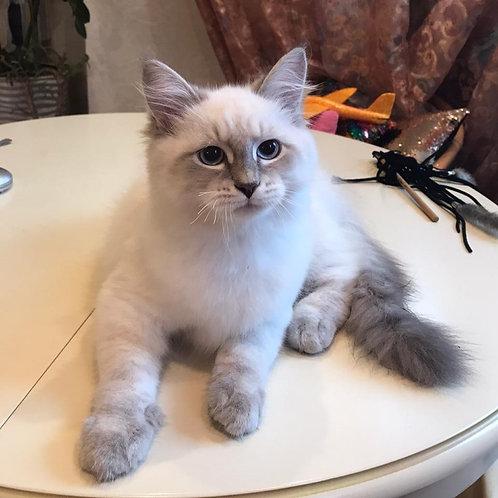 459 Amur Siberian male kitten
