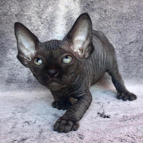 Marseille male Sphinx  kitten