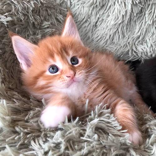 181 Evrika    Maine Coon female kitten