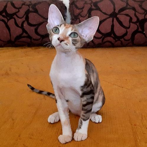 606 Regina  female kitten Devon Rex