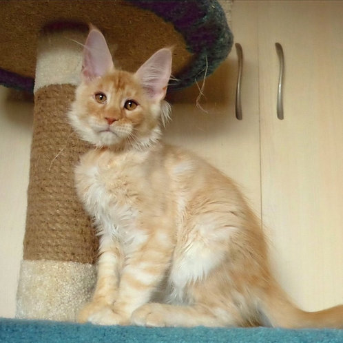373 Jig     Maine Coon male kitten