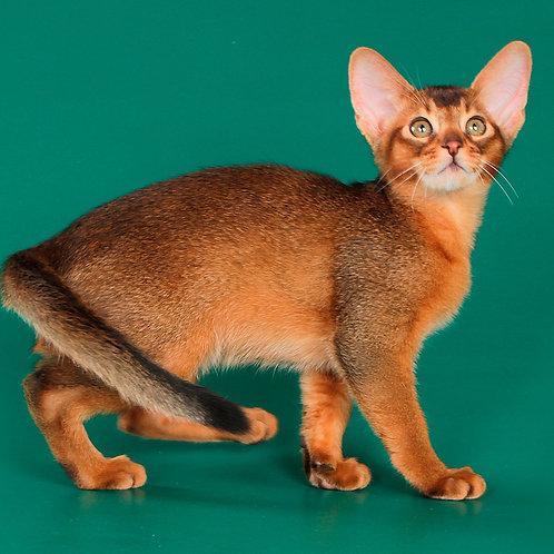 109 Jellari  purebred Abyssinian male kitten