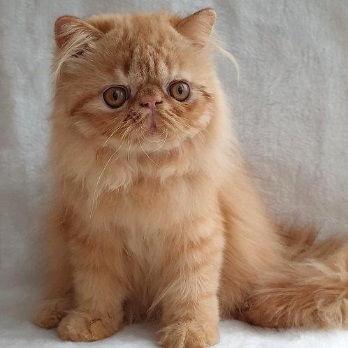 180 Eddy   Exotic longhair  male kitten