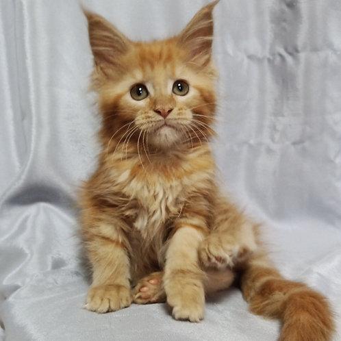 587 Quincy Maine Coon female kitten