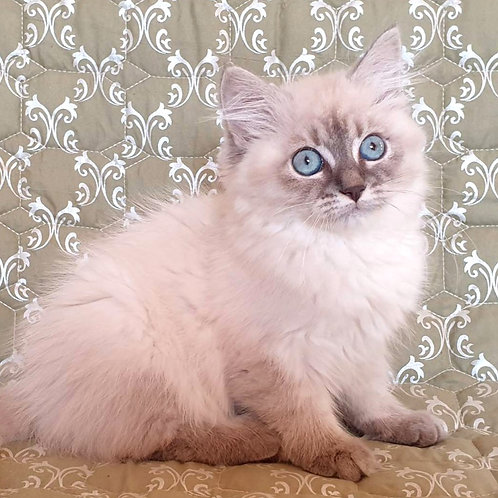 319 Optima Siberian female kitten