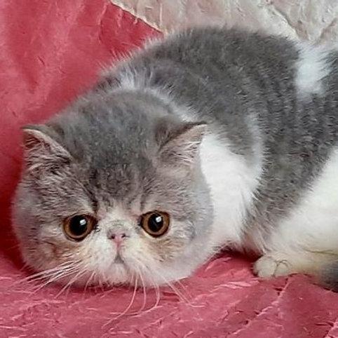 89 Felix  Exotic  male kitten