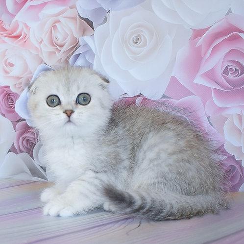 Vicky Scottish fold shorthair female kitten
