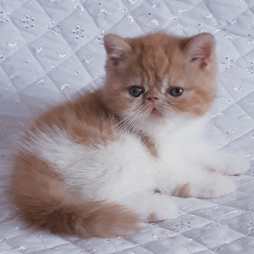Nikola Exotic shorthair male kitten