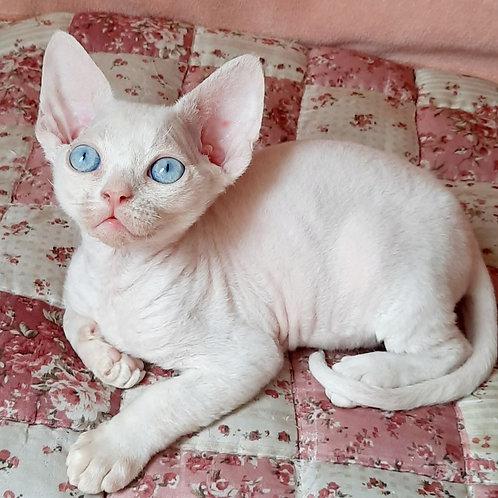385 Bruno  male kitten Devon Rex