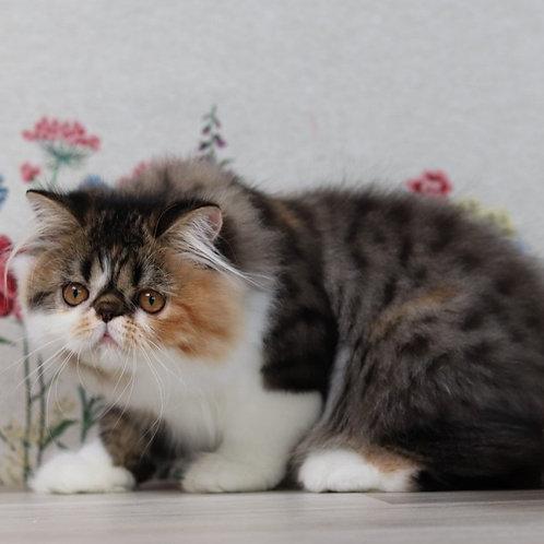 213 Gabriel   Persian  female kitten