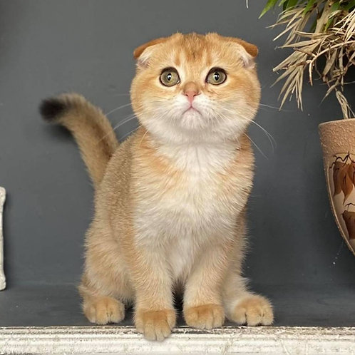 1109 Umka  Scottish fold shorthair male kitten