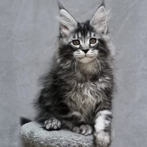 664 Brabus poly 6/6/6/6 Maine Coon male kitten