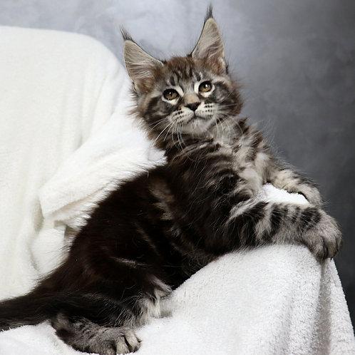 352 Ferdinand  Maine Coon male kitten