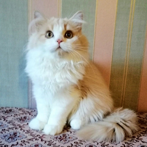 924 Taison    Selkirk rex longhair male kitten