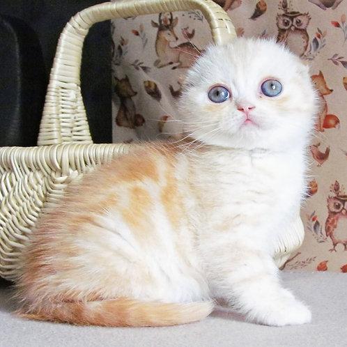 631 Yo-Yo   Scottish fold shorthair female kitten