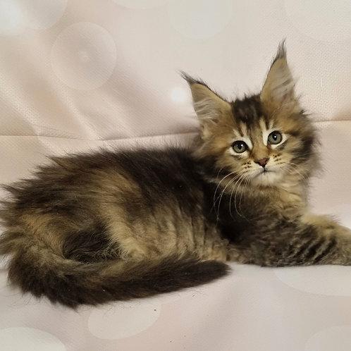 484 Tara    Maine Coon female kitten