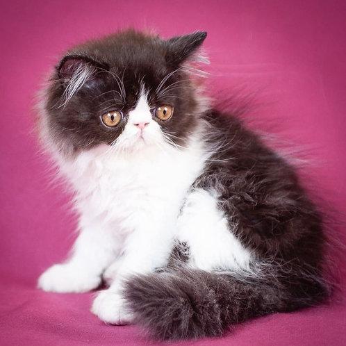 207 Adrian   Persian  male kitten