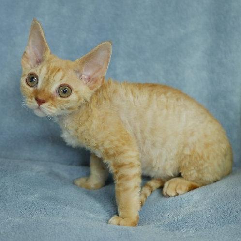 494 Bobby male kitten Devon Rex