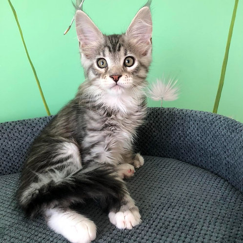 450 George    Maine Coon male kitten