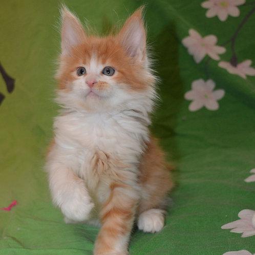 246 Bella    Maine Coon female kitten