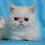 Thumbnail: 239 Vensan  Exotic  male kitten