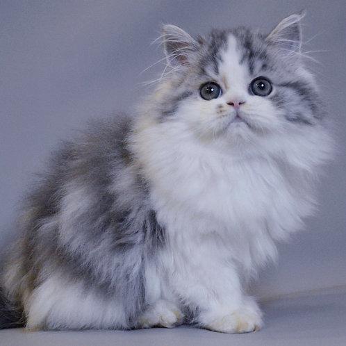 471 Qwenty  Scottish straight longhair male kitten
