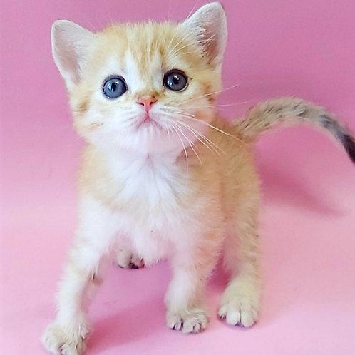 465 Oscar  British shorthair male kitten