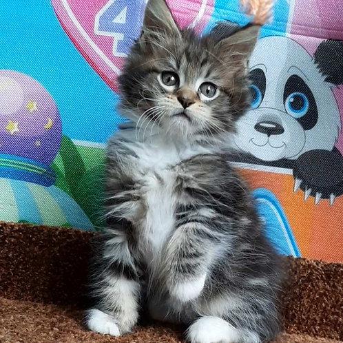 Randy Maine Coon female kitten